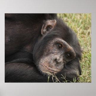 Chimpancé común que plantea la reclinación póster