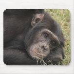 Chimpancé común que plantea la reclinación tapetes de raton