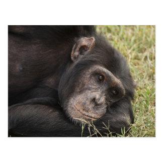 Chimpancé común que plantea la reclinación postal