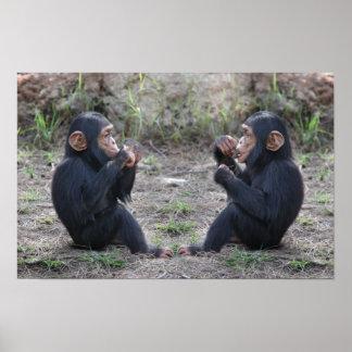 Chimpancé del chimpancé póster