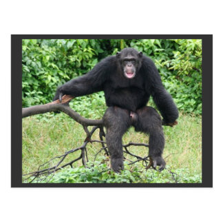 Chimpancé en Uganda Postales