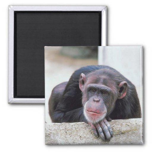 Chimpancé Imán Cuadrado