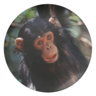 Chimpancé joven que cuelga en el bosque plato