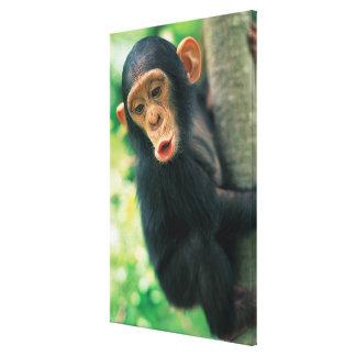 Chimpancé joven (trogloditas de la cacerola) impresiones en lona