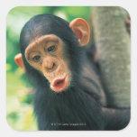 Chimpancé joven (trogloditas de la cacerola) pegatina cuadrada