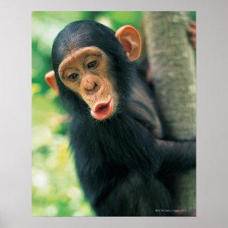 Chimpancé joven (trogloditas de la cacerola) póster