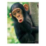 Chimpancé joven (trogloditas de la cacerola) tarjeta postal