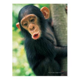 Chimpancé joven (trogloditas de la cacerola) tarjetas postales