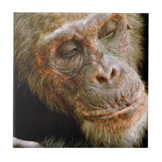 Chimpancé masculino viejo salvaje (trogloditas de azulejos ceramicos