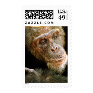 Chimpancé masculino viejo salvaje (trogloditas de estampilla