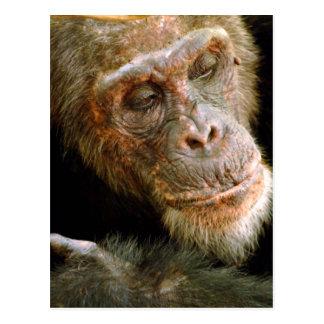 Chimpancé masculino viejo salvaje (trogloditas de tarjetas postales
