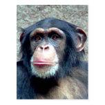 Chimpancé Postales