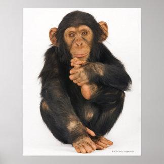 Chimpancé (trogloditas de la cacerola) posters