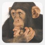 Chimpancé (trogloditas de la cacerola). Playfull Pegatina Cuadradas