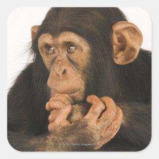 Chimpancé (trogloditas de la cacerola). Playfull Pegatina Cuadrada