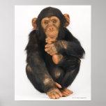 Chimpancé (trogloditas de la cacerola) póster