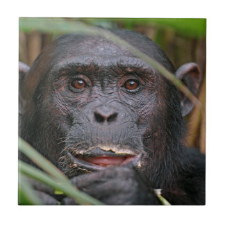 Chimpancé (trogloditas de la cacerola) que mira azulejos