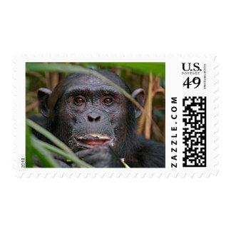 Chimpancé (trogloditas de la cacerola) que mira estampilla