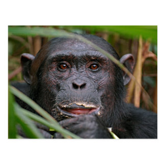 Chimpancé (trogloditas de la cacerola) que mira tarjeta postal