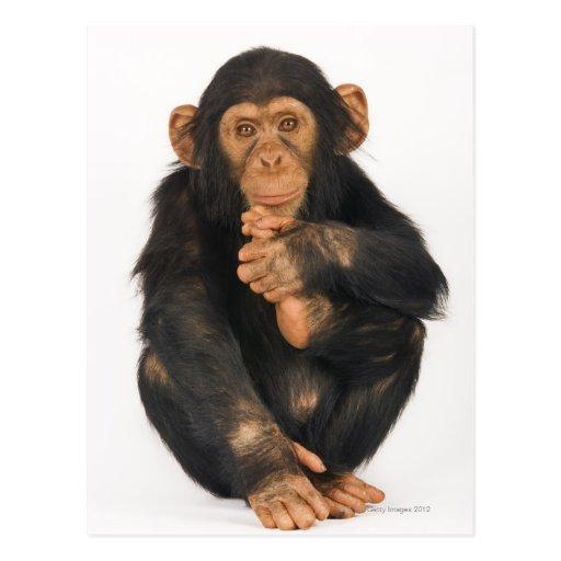 Chimpancé (trogloditas de la cacerola) tarjeta postal