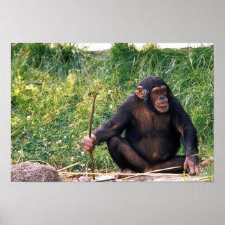Chimpancé usando el palillo como herramienta a obt poster