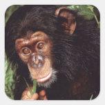 Chimpansee Colcomania Cuadrada