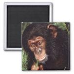 Chimpansee Iman De Nevera