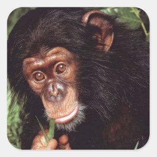 Chimpansee Pegatina Cuadrada