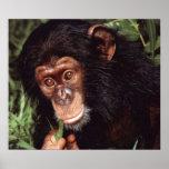 Chimpansee Poster