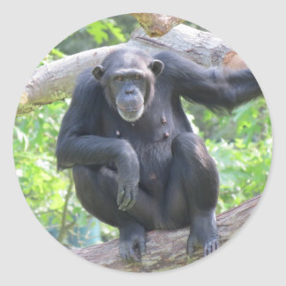 chimpanzee classic round sticker