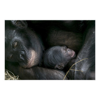CHIMPANZEE MOTHER AND CHILD POSTER