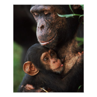 Chimpanzee Mother Nurturing Baby Poster