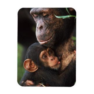Chimpanzee Mother Nurturing Baby Rectangular Photo Magnet