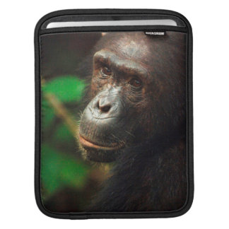 Chimpanzee (Pan troglodytes) Portrait in Forest iPad Sleeve