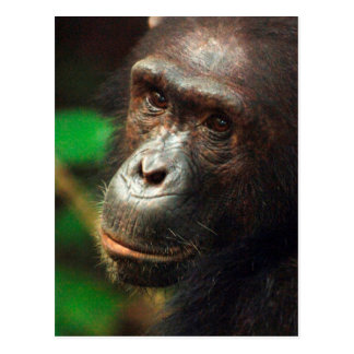 Chimpanzee (Pan troglodytes) Portrait in Forest Postcard