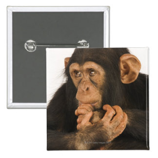 Chimpanzee (Pan troglodytes). Young playfull 2 Pinback Button