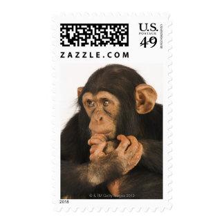 Chimpanzee (Pan troglodytes). Young playfull 2 Postage Stamp