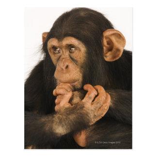 Chimpanzee (Pan troglodytes). Young playfull 2 Postcard