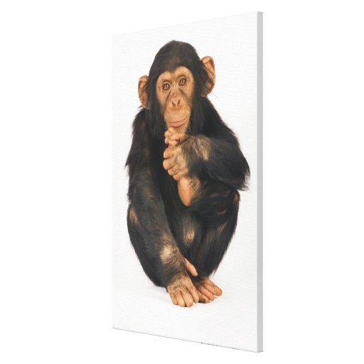 Chimpanzee (Pan troglodytes). Young playfull Canvas Print