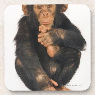 Chimpanzee (Pan troglodytes). Young playfull Coaster
