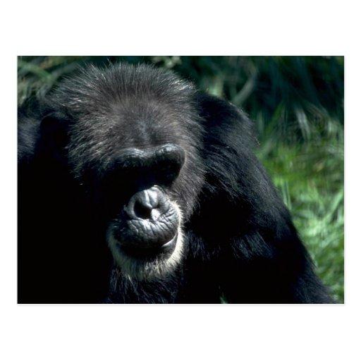 Chimpanzee Post Card