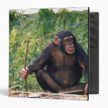 Chimpanzee using stick as a tool to obtain binders
