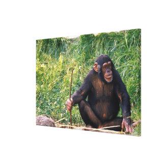 Chimpanzee using stick as a tool to obtain canvas print