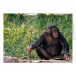 Chimpanzee using stick as a tool to obtain greeting card