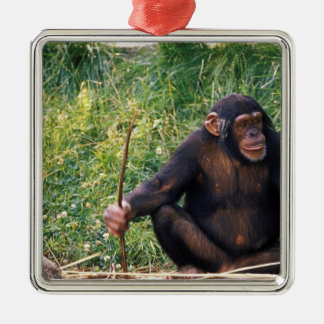 Chimpanzee using stick as a tool to obtain metal ornament
