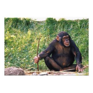 Chimpanzee using stick as a tool to obtain photo print