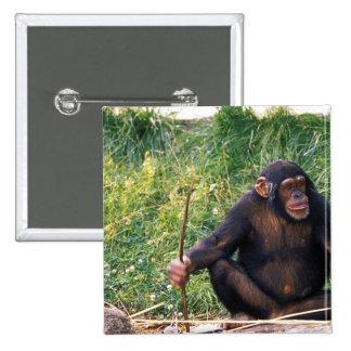 Chimpanzee using stick as a tool to obtain pinback button
