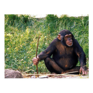 Chimpanzee using stick as a tool to obtain postcard