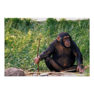 Chimpanzee using stick as a tool to obtain poster