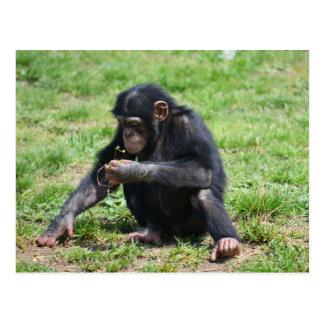 Chimpanzee with Flower Postcard